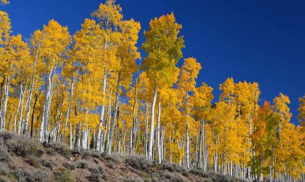 Pando: the forest that's a single tree